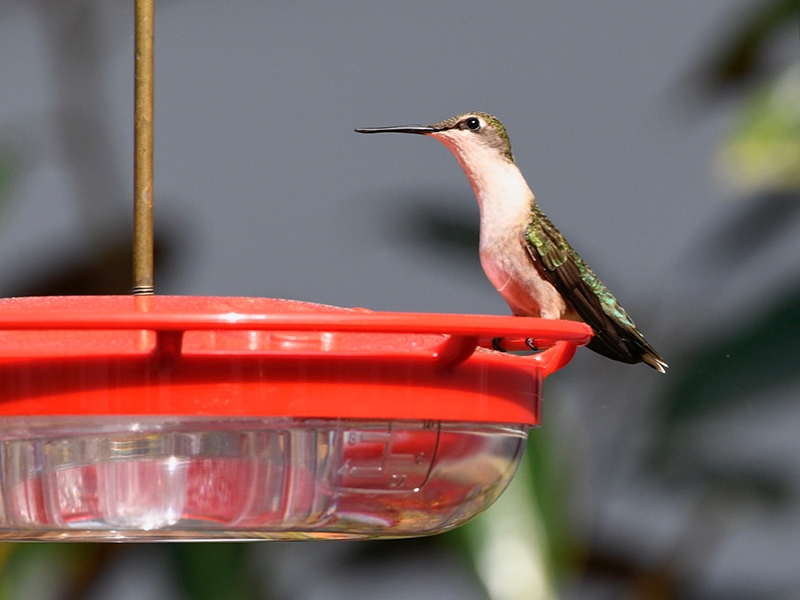 Ruby throated hummingbird [Photo provided by David Miller]