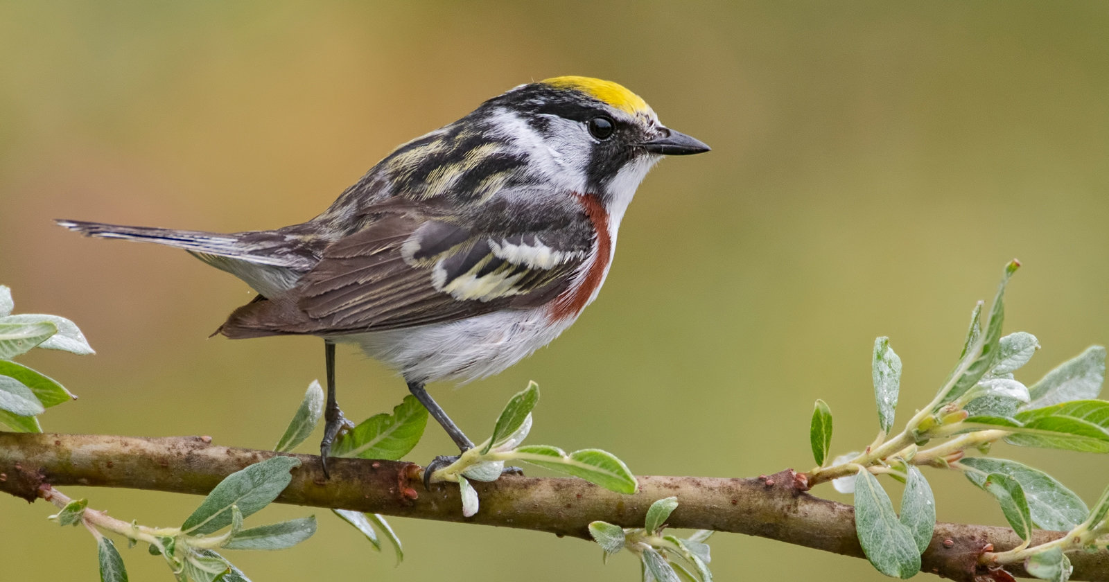 Chestnut Sided Warbler Featured Image