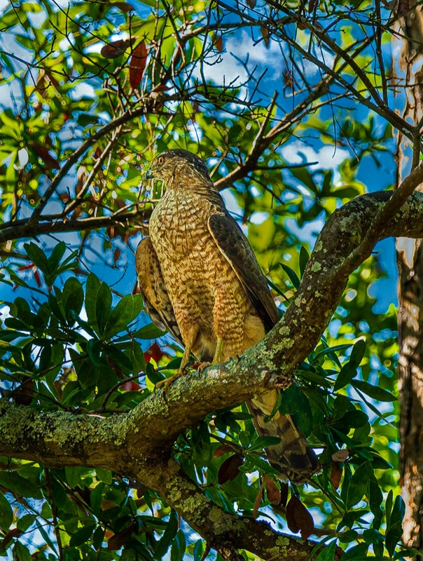 Cooper's Hawk [Photo provided by Ken Peters]
