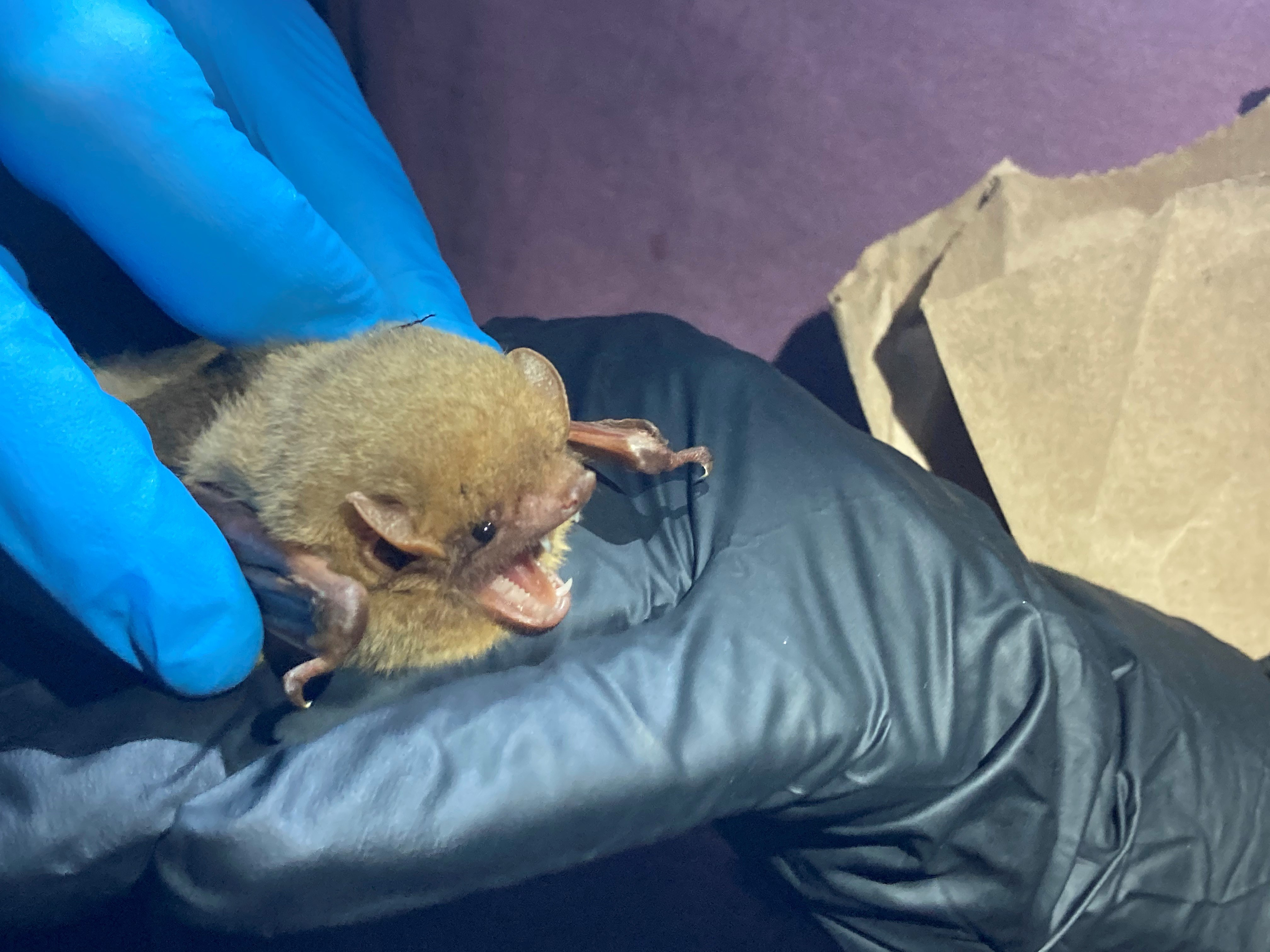 Northern yellow bats are a coastal species that roost in Spanish moss and in dead palmetto fronds.