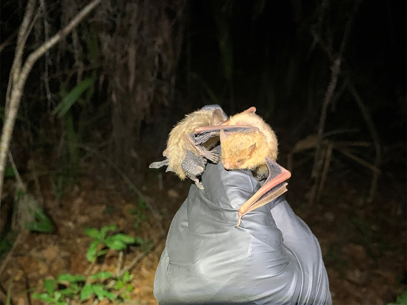 We caught a female tri-colored bat carrying her pup. Her pup (on the left) was about half her size! Juvenile bats have grayer fur than adults.