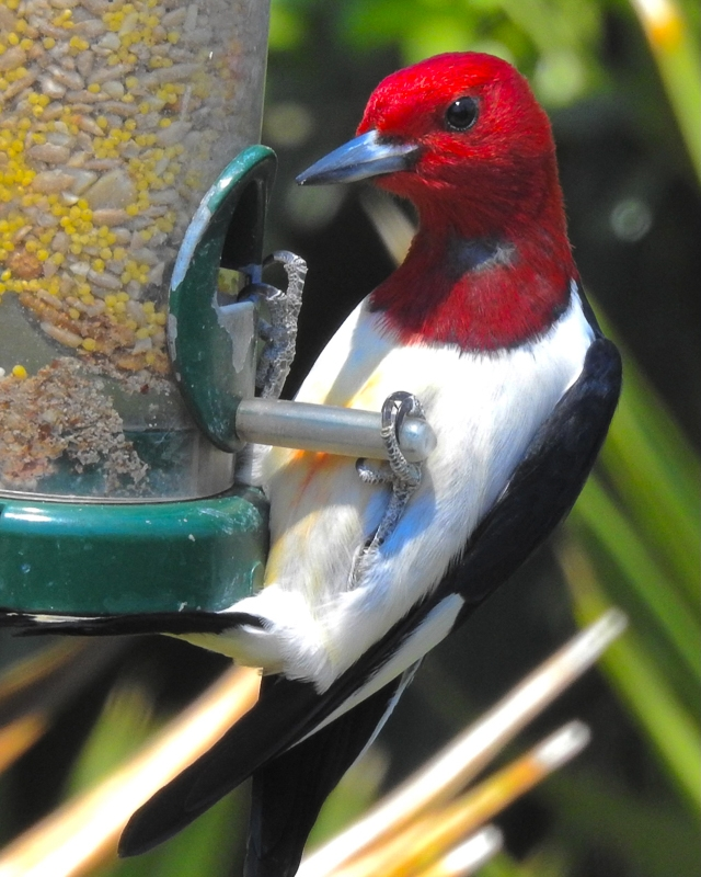 Red-headed Woodpecker [Photo provided by Annie Kosk]