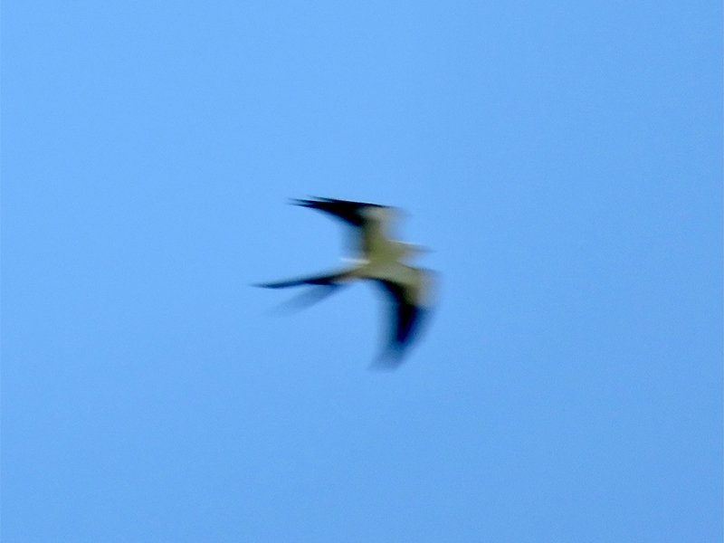 Swallow-tailed kite [Photo provided by Annie Kosh]
