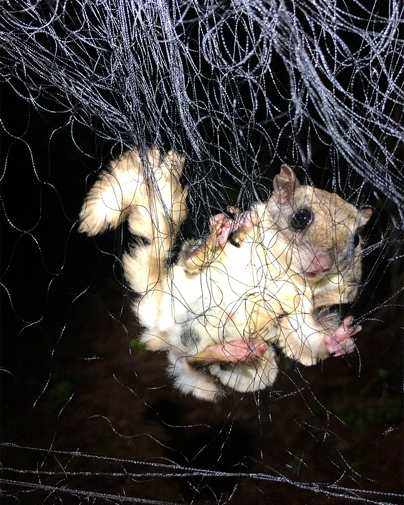 We frequently catch flying squirrels, which are adept at destroying nets.