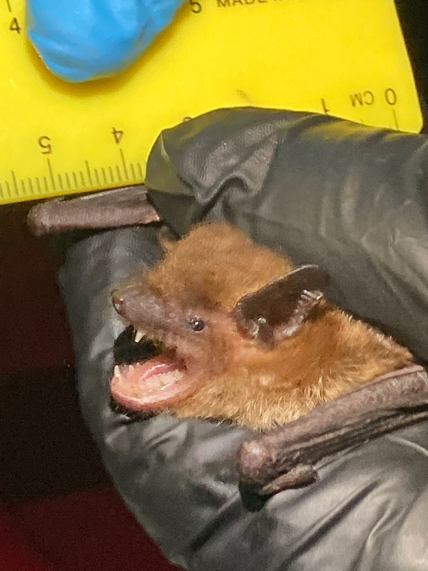 Big brown bats, like other insectivorous bats, use their sharp teeth to pierce the hard exoskeletons of insects.