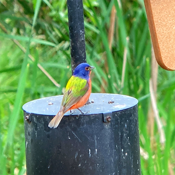 Painted bunting at the Conservancy.
