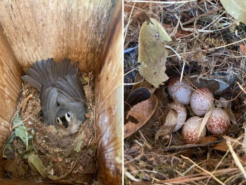 Tufted titmouse and her eggs.