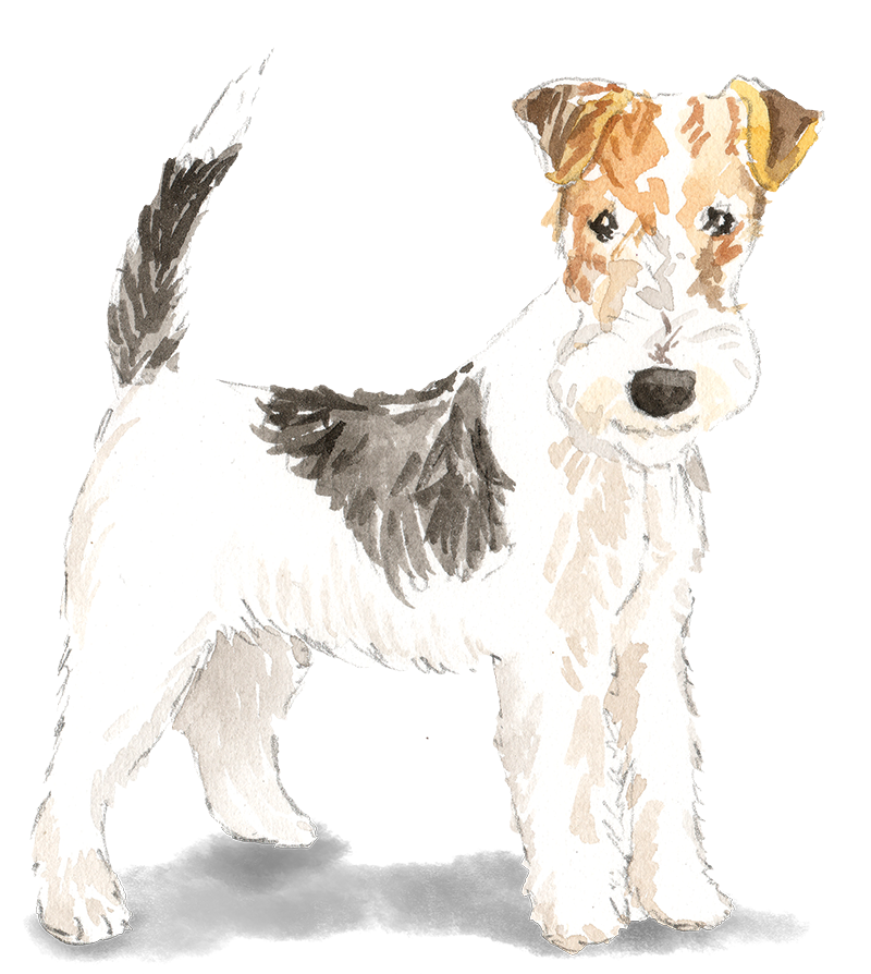 Wire Haired Fox Terrier SHADOW